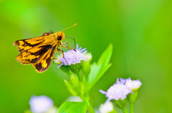 Peck's Skipper (Polites peckius). Wonderful small butterflies in Thailand Royalty Free Stock Photography