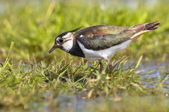 pecking Female Northern lapwing stock photography