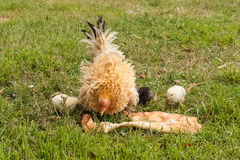 Pecking hen with little chicks Stock Images