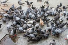 Large flocks of pigeons pecking eat on the floor. Pecking pigeons eat according to the ground royalty free stock photography