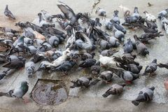 Pigeons peck food on the floor. Pecking pigeons eat according to the ground Stock Photos