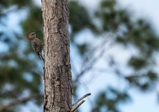 Pecking red bellied woodpecker Melanerpes carolinus. On a pine tree stock photography