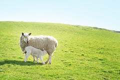 Pecora che alimenta il suo agnello Immagini Stock Libere da Diritti