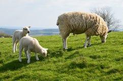 Pecora con gli agnelli Fotografia Stock