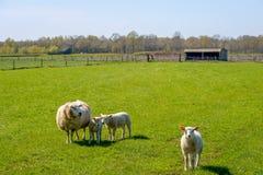 Pecora con i suoi agnelli che posano nel prato Immagine Stock