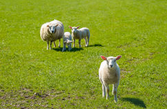 Pecora con i suoi agnelli che posano nel prato Fotografia Stock