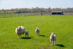 Pecora con i suoi agnelli che posano nel prato Fotografia Stock Libera da Diritti