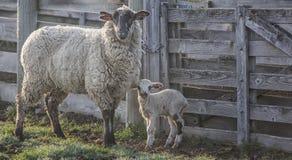 Pecora con l'agnello del bambino Immagini Stock Libere da Diritti