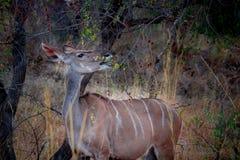 Pecora del Nyala che mangia le foglie verdi immagine stock libera da diritti