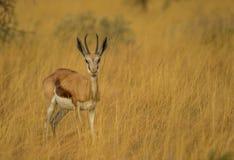 Pecora dell'antilope saltante nell'erba alta fotografia stock libera da diritti