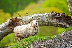 Pecora delle pecore immagine stock libera da diritti