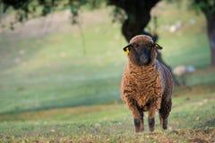 Pecora delle pecore di Brown che esamina direttamente la macchina fotografica in primavera fotografia stock libera da diritti