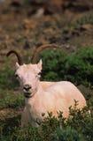 Pecora delle pecore di Dall immagine stock