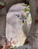 Pecora di Klipsringer che guarda verso la macchina fotografica da dietro un albero fotografia stock