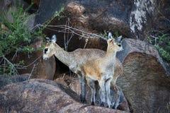 Pecora di oreotragus di Klipspringer Oreotragus con l'agnello 2 fotografia stock libera da diritti