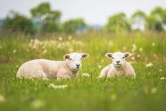 Pecora di Texel, agnelli gemellati neonati in prato verde fertile nel tempo di primavera fotografia stock