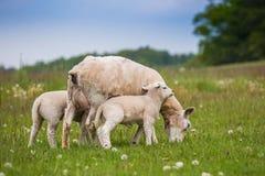 Pecora di Texel, pecora femminile, con gli agnelli gemellati neonati in prato verde fertile nel tempo di primavera fotografia stock libera da diritti