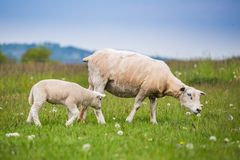Pecora di Texel, pecora neonata dell'agnello in prato verde fertile nel tempo di primavera fotografie stock