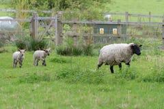 Pecora e resto della famiglia nel campo in primavera Immagini Stock Libere da Diritti