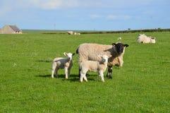 Pecora ed agnelli Fotografia Stock