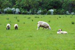 Pecora ed agnelli in un campo durante la stagione primaverile Fotografia Stock