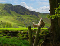Pecora ed agnello Fotografia Stock