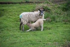 Pecora ed agnello fotografia stock libera da diritti