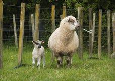 Pecora ed agnello Immagini Stock Libere da Diritti