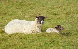 Pecora ed agnello che riposano nel campo Fotografie Stock