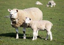Pecora ed agnello, Holmfirth, West Yorkshire fotografia stock