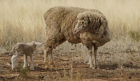 Pecora ed agnello nella siccità Fotografie Stock Libere da Diritti