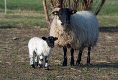 Pecora ed il suo agnello fotografia stock libera da diritti