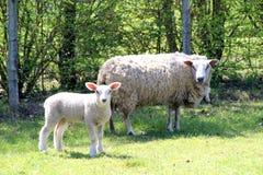 Pecora ed il suo cucciolo in un campo di estate immagine stock libera da diritti
