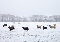Pecora su un campo bianco Fotografia Stock