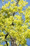 Pecora vecchia dell'albero Immagini Stock Libere da Diritti