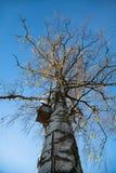 Pecora vecchia della betulla che precipita nel cielo Fotografie Stock Libere da Diritti