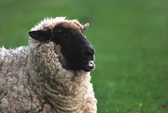 Pecore fotografie stock libere da diritti