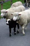 Pecore. Fotografia Stock Libera da Diritti