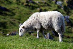 Pecore Immagini Stock Libere da Diritti