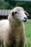 Pecore fotografia stock libera da diritti