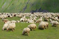 Pecore. Immagini Stock
