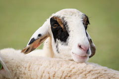 Pecore. Immagine Stock Libera da Diritti