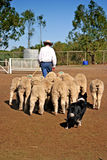 Pecore Immagine Stock
