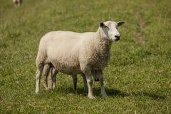 Pecore Immagine Stock Libera da Diritti