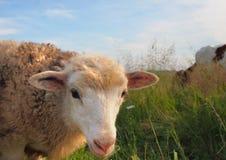 Pecore Fotografia Stock