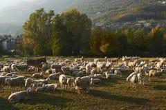 Pecore Fotos de Stock Royalty Free