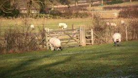 Pecore video d archivio