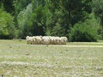 Pecore Arkivbild