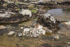 Pecore accanto al wharfe del fiume in Yorkshire, Inghilterra immagini stock