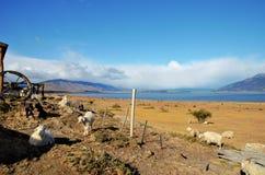 Pecore ad un Estancia Fotografia Stock
